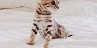 Bengal Kitten is the cutest, basically.