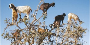 The tree-climbing goats of Morocco