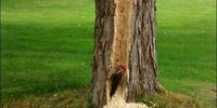 What does this wood pecker think he's trying to prove?