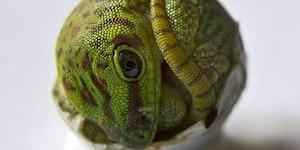 Gecko hatchling