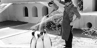 Watering Penguins in Copenhagen Zoo, 1957