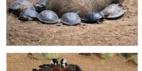 Capybara,the most wholesome animal