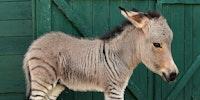 Half zebra half donkey. He's a little zonkey...