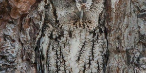 Screech Owl becomes one with the tree.