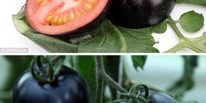 Britain's first black tomatoes.