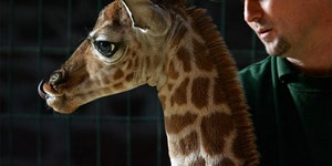 Meet Little Margaret - The adorable baby giraffe.