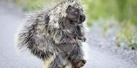 Porcupine walking on its hind legs