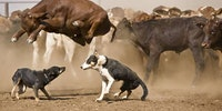 The cow jumped over the dog.
