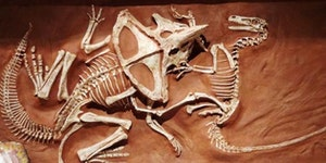 Forever locked in combat: A 74million year old fossile of a Velociraptor and Protoceratops engaged in a desperate struggle when they were abruptly buried by a landslide