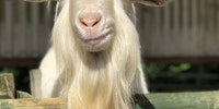 Ridiculously photogenic goat.
