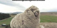 Shrek the sheep from New Zealand.
