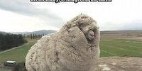 Shrek the sheep from New Zealand.