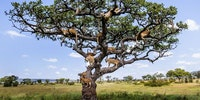 An entire pride of lions decided to take a kip - 15 feet up a tree. At least 15 of the beasts were caught on camera lounging on the branches of a sturdy tree in Central Serengeti, Tanzania