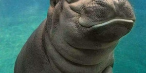 Baby hippo will murder your entire family. Run.