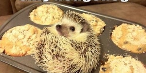 Silly Hedgehog, you're not a muffin.