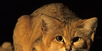 Rare Arabian sand cat