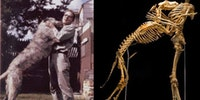 Anthropologist Grover Krantz donated his body to science with the stipulation that his dog stay close to him. Now their bones dance forever, the curs-ed dance, exclusively at the Smithsonian.
