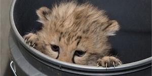 A peeking cheetah cub