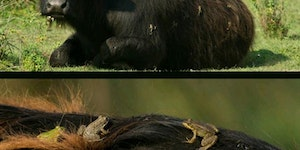 Symbiotic telationship between frogs and a water buffalo