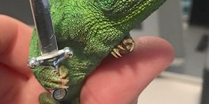 Chameleons will hold onto anything you give them, apparently.