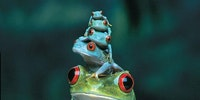 Red eyed tree frog, mother and babies