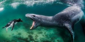 Leopard Seal about to nab a penguin.