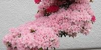 Bonsai cherry tree.