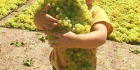 It is grapes harvest season in Afghanistan