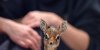 His name is Thanos and he is a baby dik-dik at the Chester Zoo