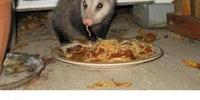 Possum of the day.