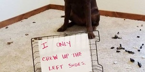 i only chew up the left shoes.