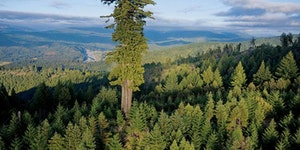 Mendocino Tree – 112.20 m - Montgomery Woods; California.