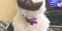 The bearded gato