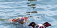 Farmer takes a couple of his pigs to go swimming during heatwave in the Netherlands
