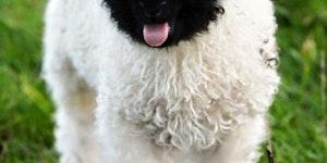 Lamb chop blebs.