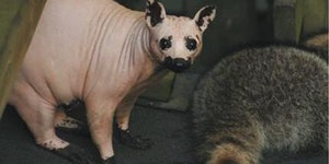 This is a raccoon without fur.