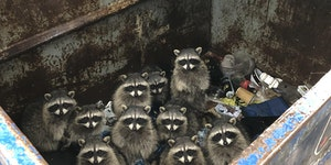 Trash pandas will inherit the earth.