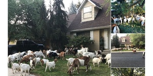 When goats attack!