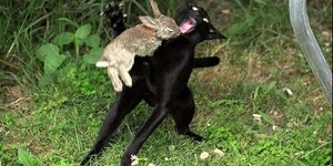 The Killer Rabbit of Caerbannog Strikes again...