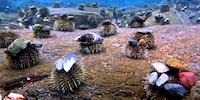 Sea urchins wear rocks as hats, apparently.