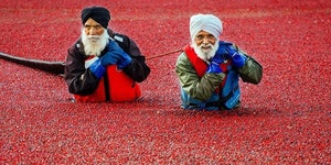 Tis the season to collect the cranberry, ~Vancouver, Canada.