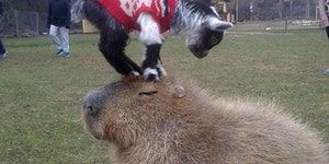 If you give a capybara a goat...