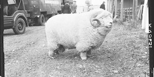 This ram is an absolute unit