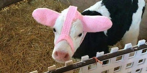Irish farmer knits ear warmers for calves during the cold months.