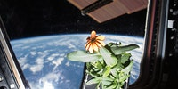 Growing flowers inside the International Space Station